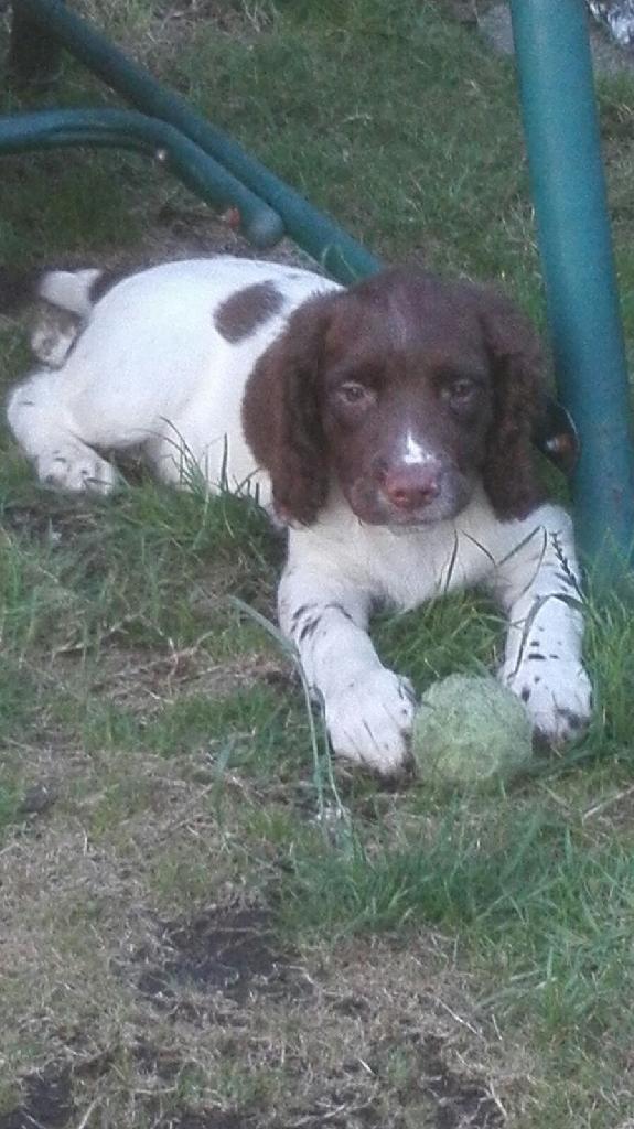 12 week old English Springer spaniel pup .