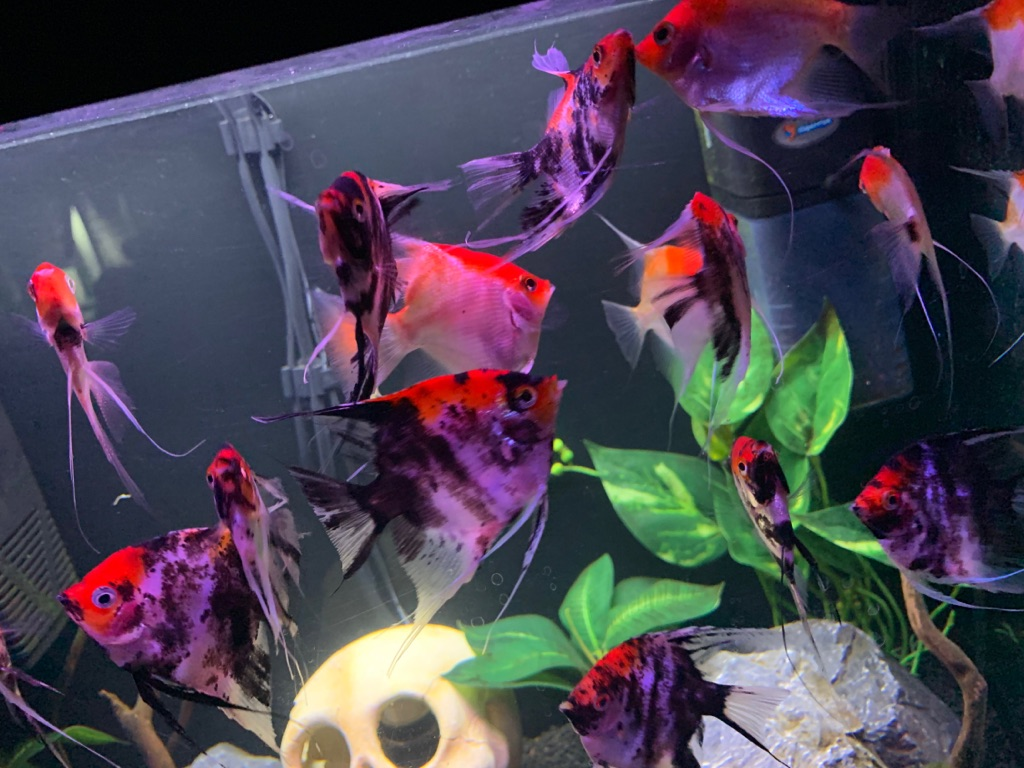 Koi Angel Fish