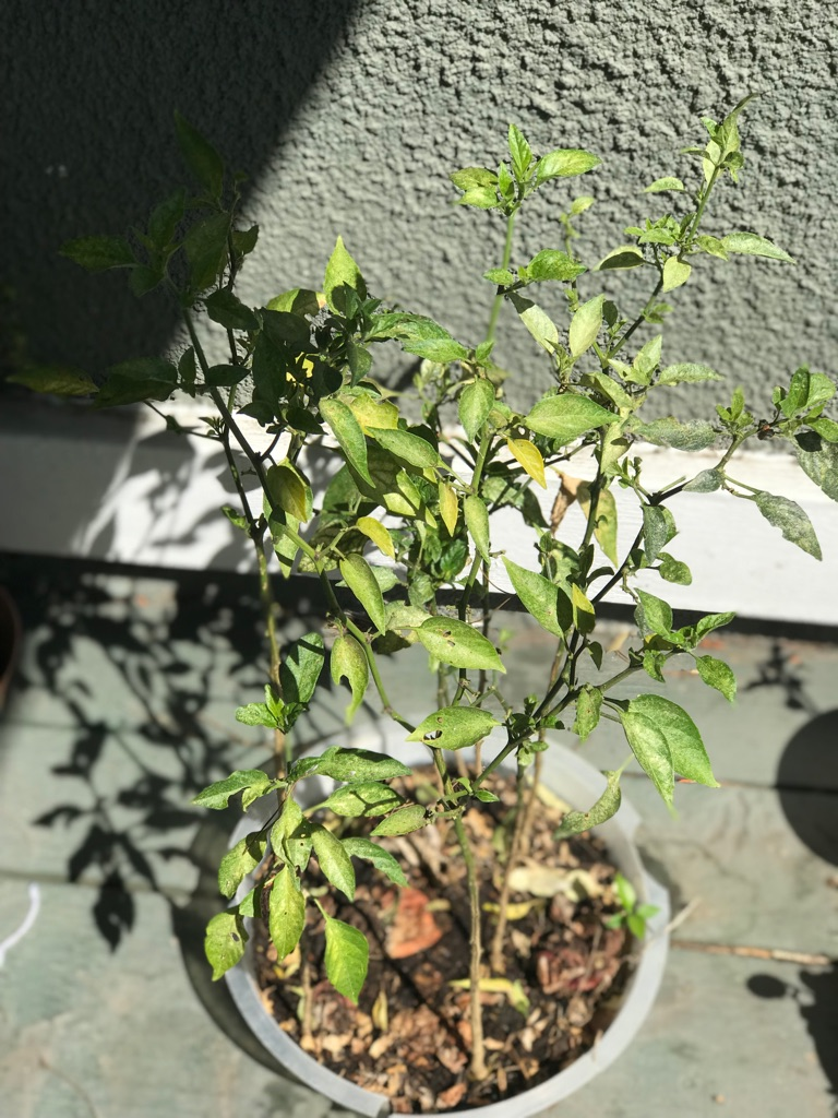 Organic jalapeño chilli plants (8 plants)