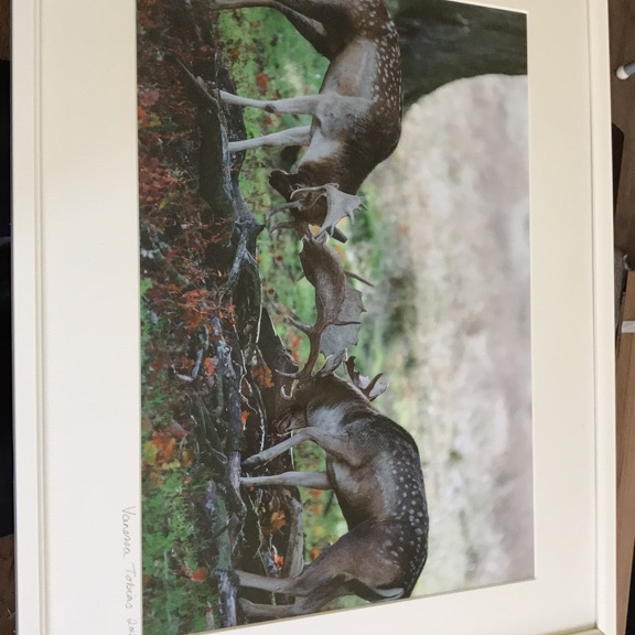 Stag Photograph