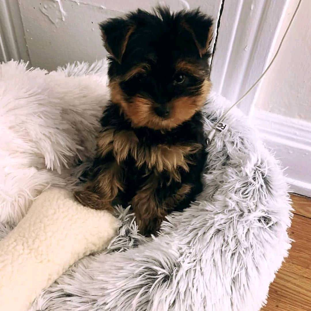 Mini teacup yorkie puppies for sale