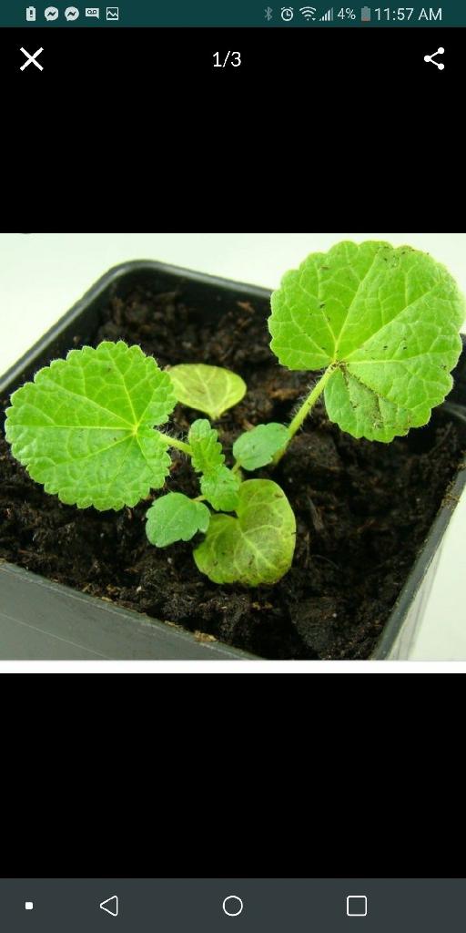Baby hollyhocks starter plants