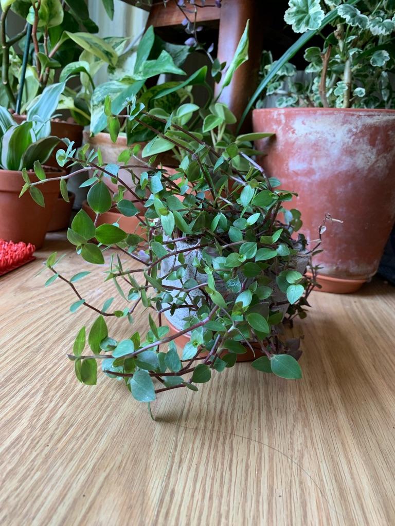Beautiful trailing houseplant- fast grower!