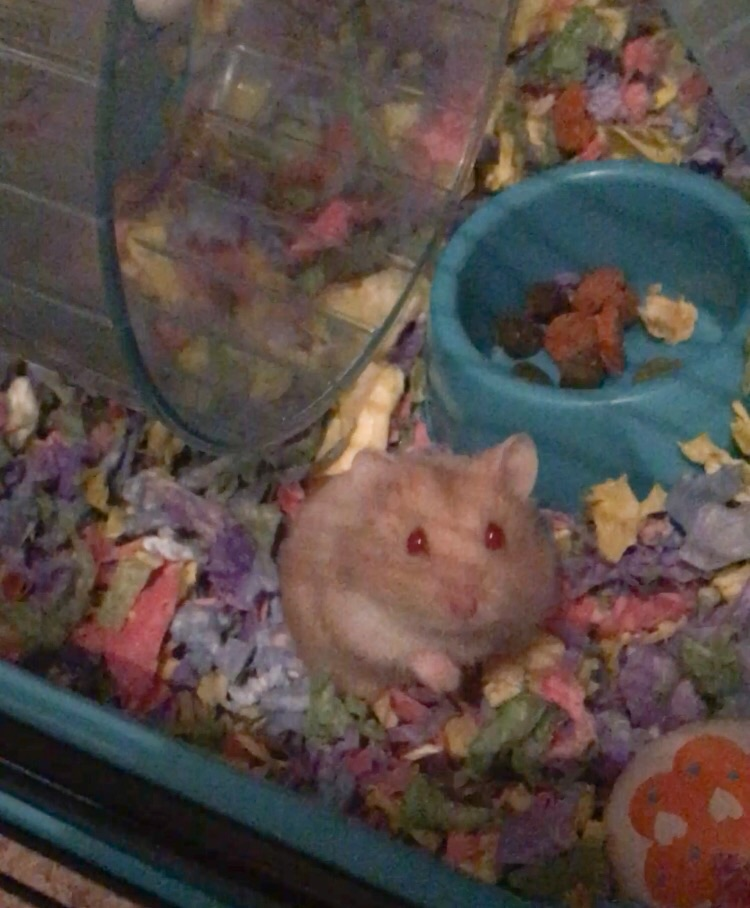 Dwarf Russian Hamster + cage and eccessories