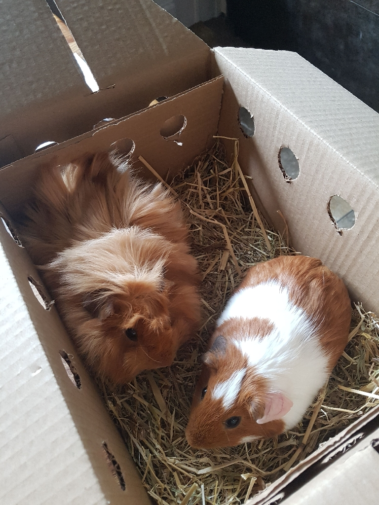 2 GUINEA PIGS FOR STUD