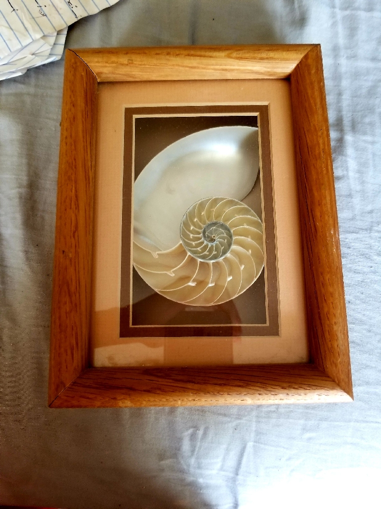 Sea Shell from Hawaii Matted and Framed