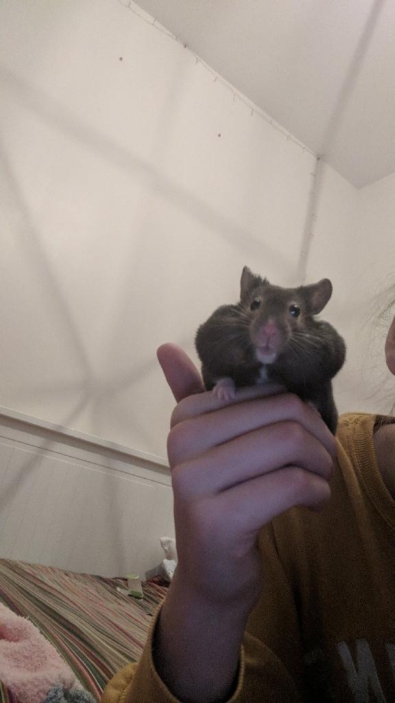 Hamster sitting x