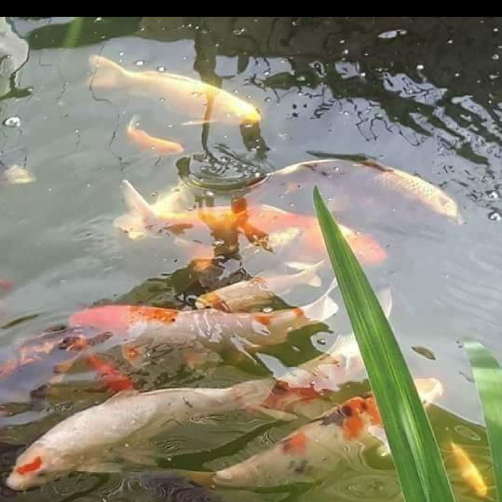 Pond fish 're homing service (no fish for sale)
