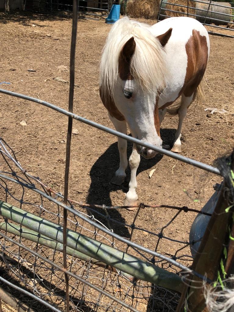 Pregnant pony