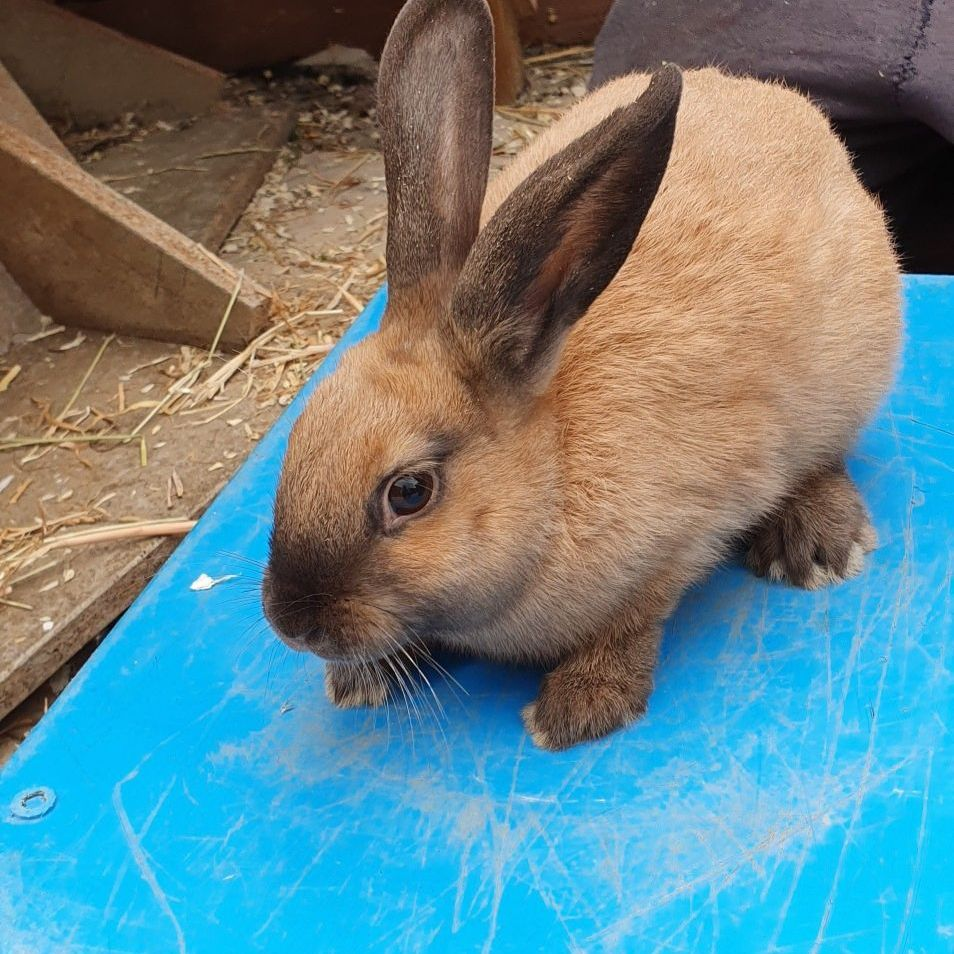 Male rabbit mixed breed