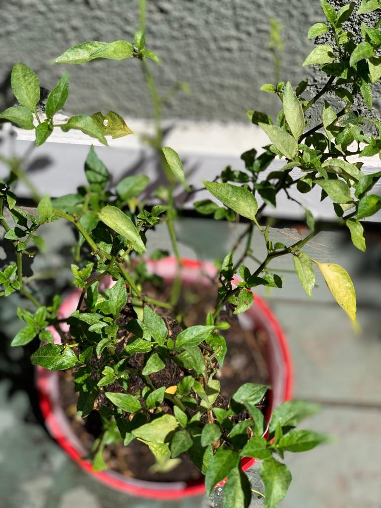 Organic chilli plants (6 count)