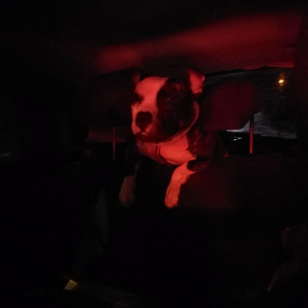 Pepper old Tyme bulldog x staff