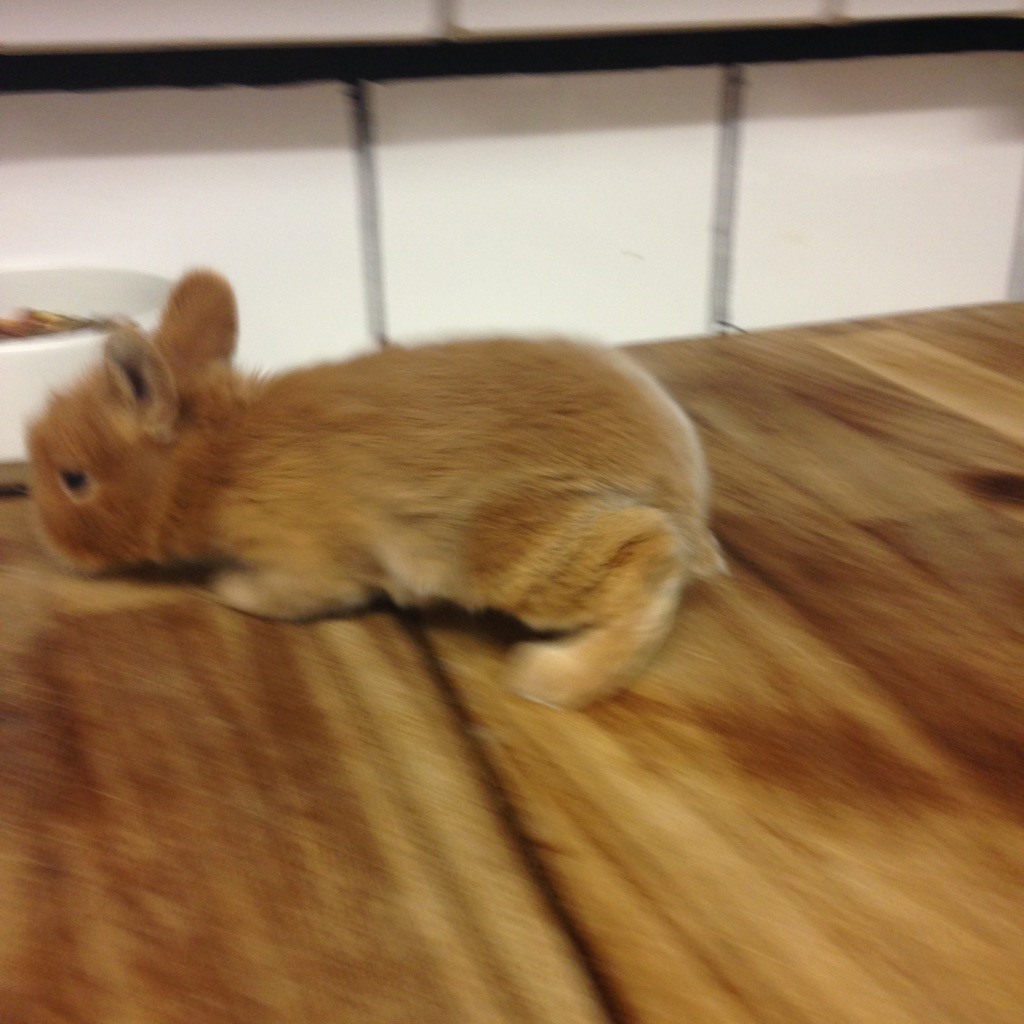 Baby cotton tail rabbit