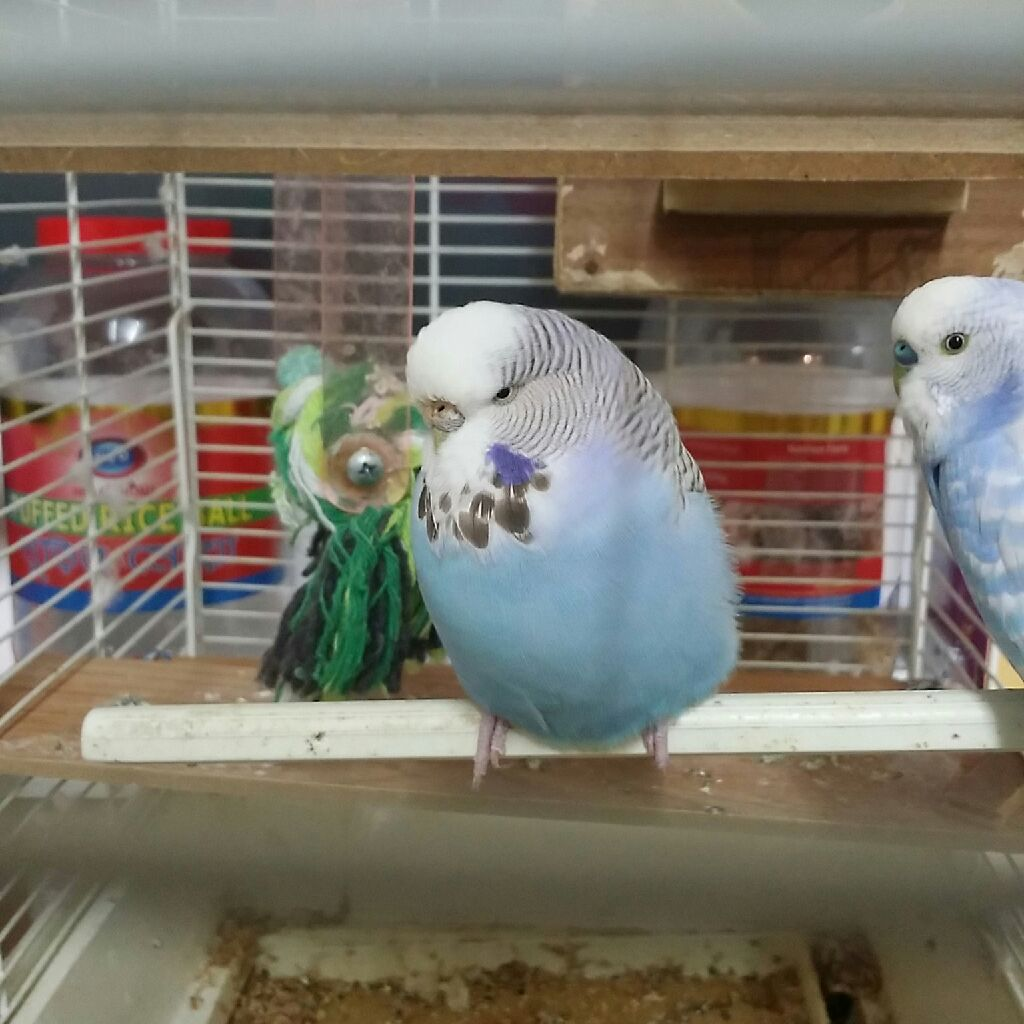 2  blue birds with cage and accessories