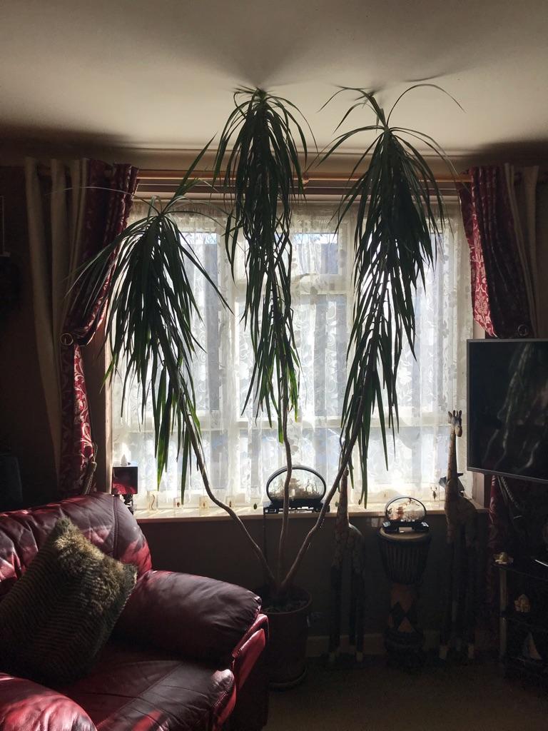 Yukka Plant (Bramley)