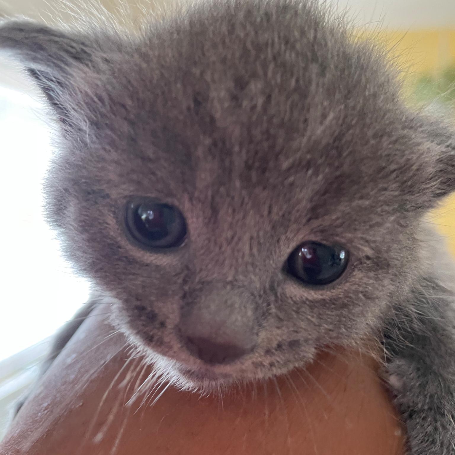 Blue BSH/Russian Blue kittens