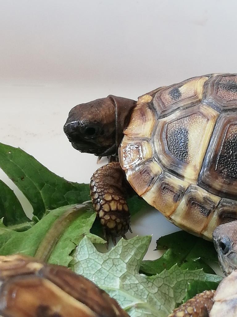 Baby Hermann Tortoise
