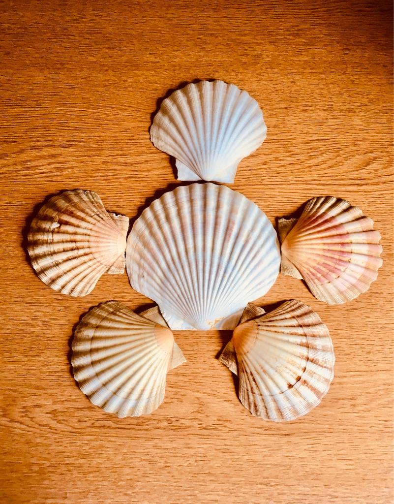 NATURAL SCALLOP SHELLS