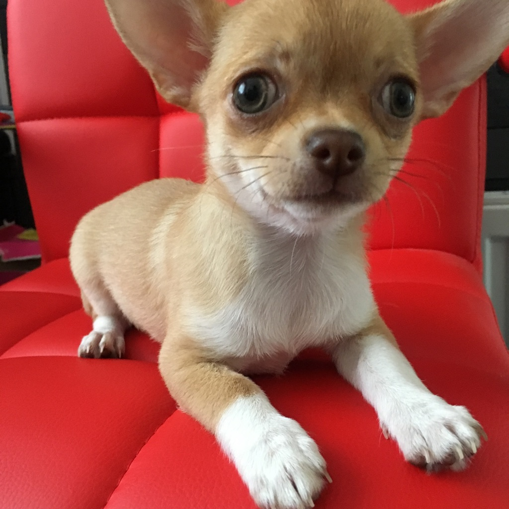 Pedigree Chihuahua- ready for new home