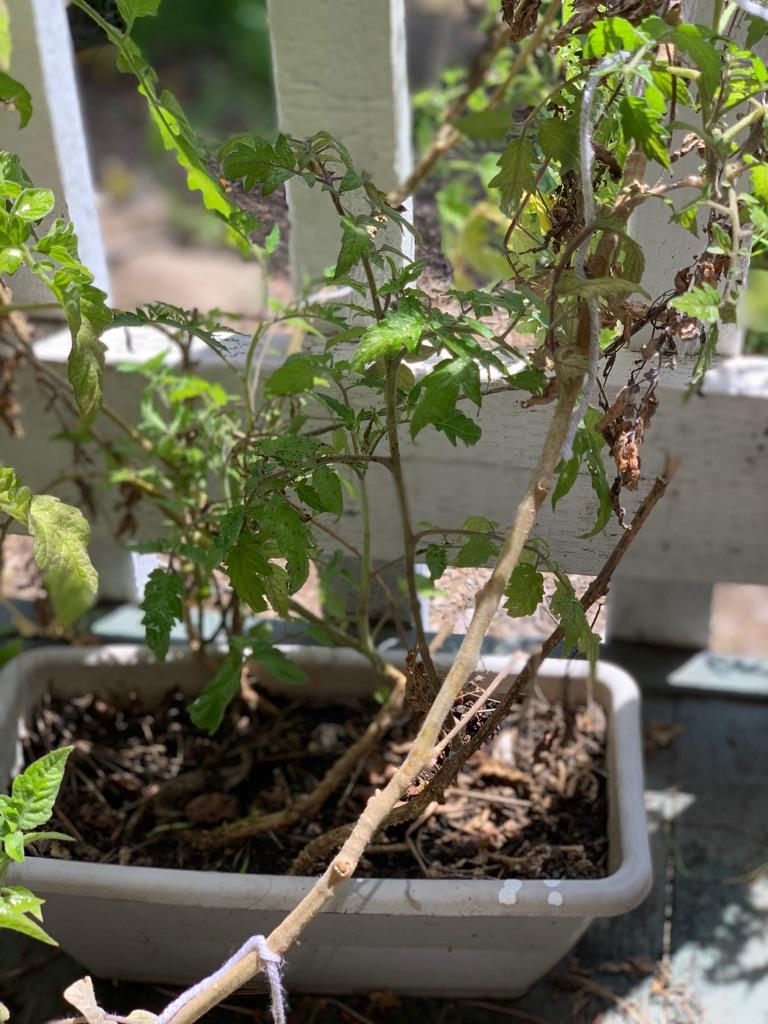 Organic tomato and (4  plants)