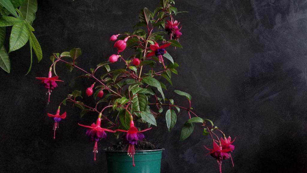 6 fuchsia rooted cuttings