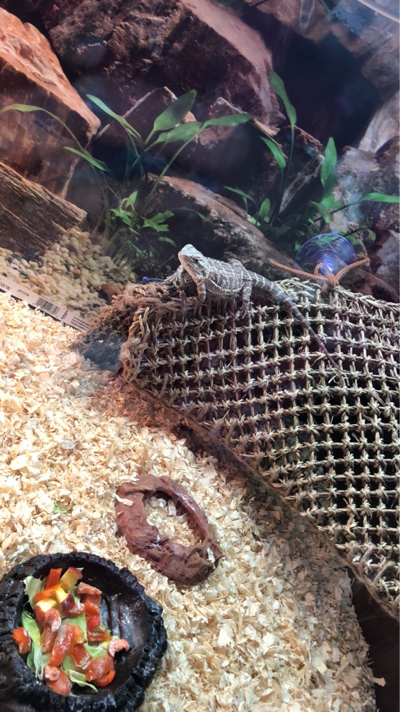 2x Bearded Dragons for sale