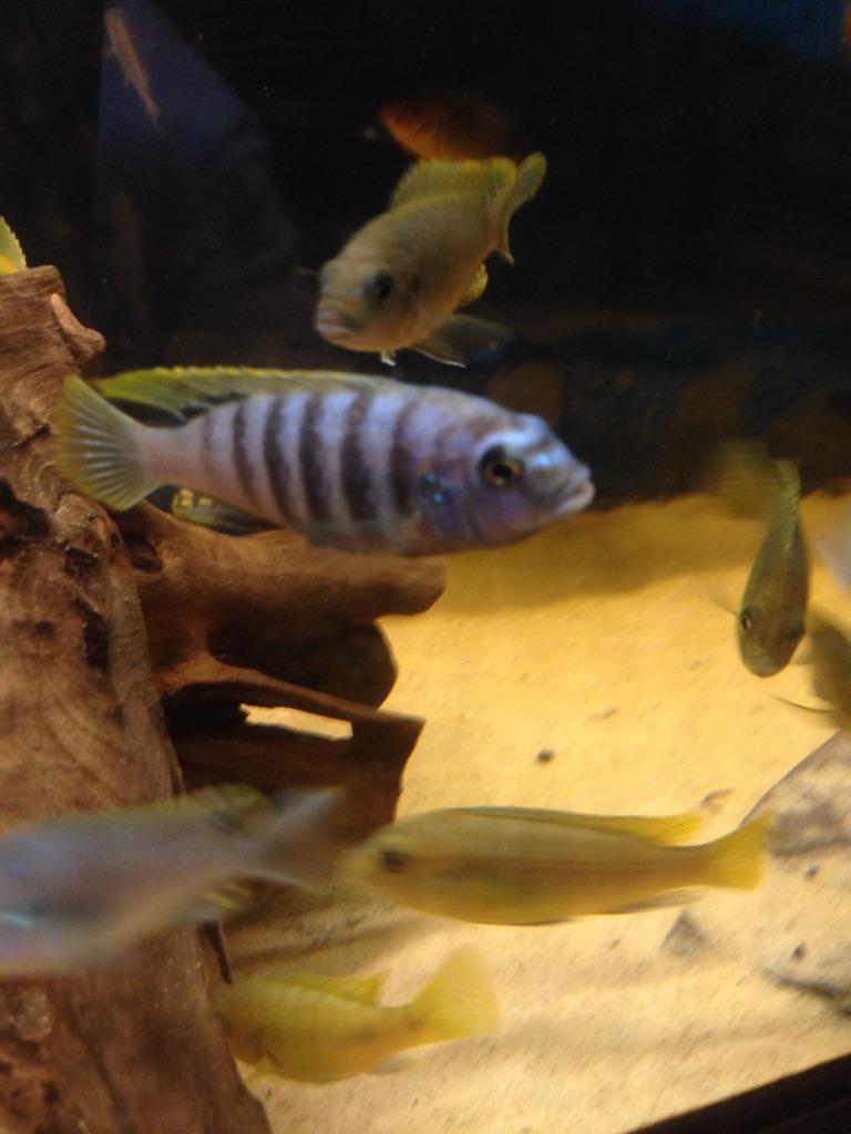 African Malawi Cichlid fish (fry)