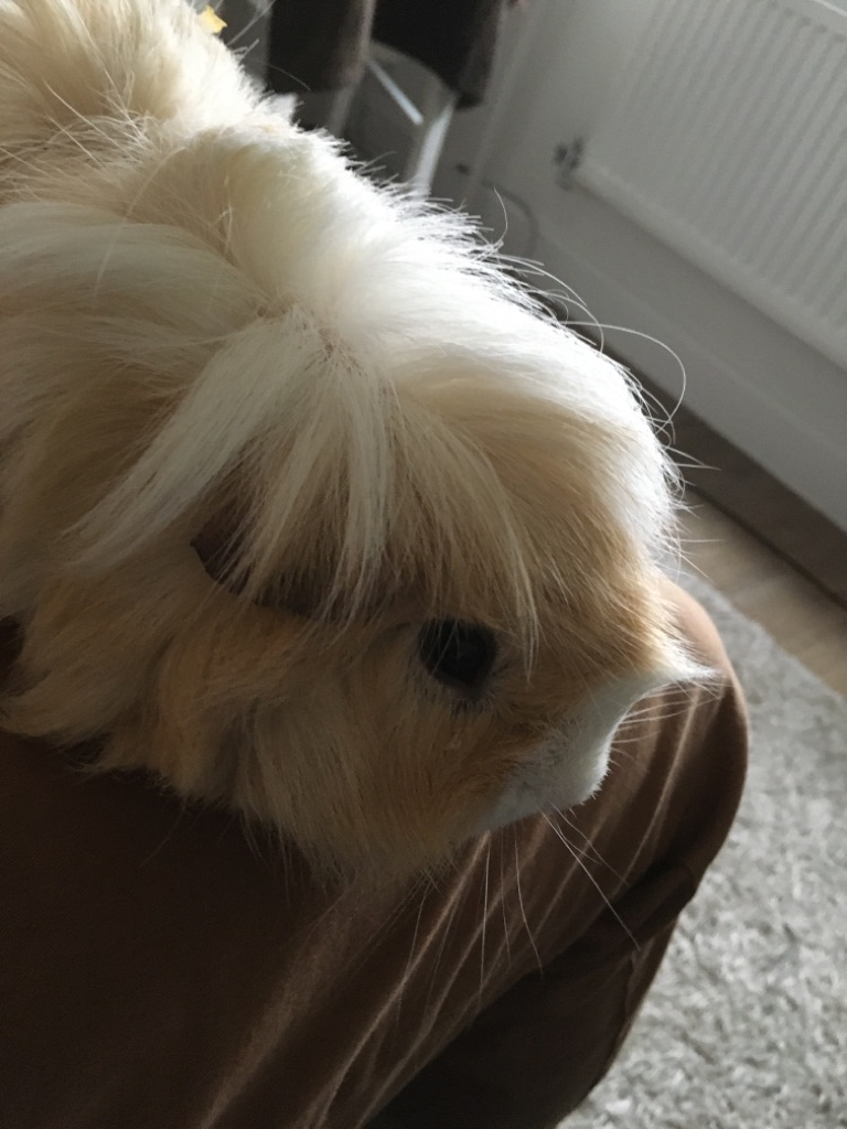 Guinea pigs and home
