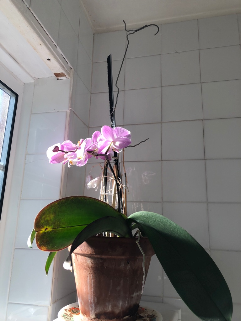 ORCHID without CLAYPOT