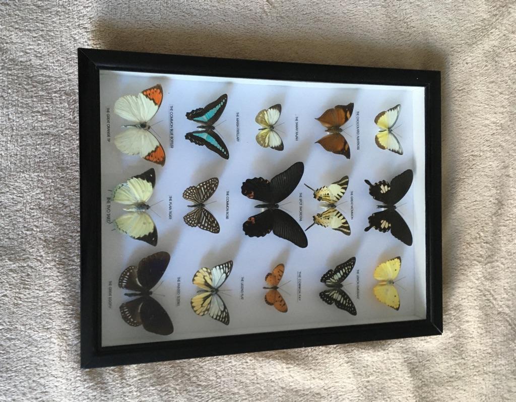 15 Framed Asian Butterflies