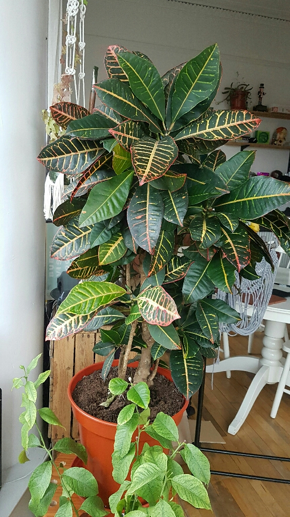 Large croton plant for sale