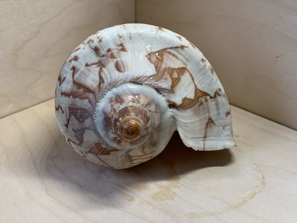 Large Scenic Shell Conch 12 Cm Long 9.5 Cm Wide.