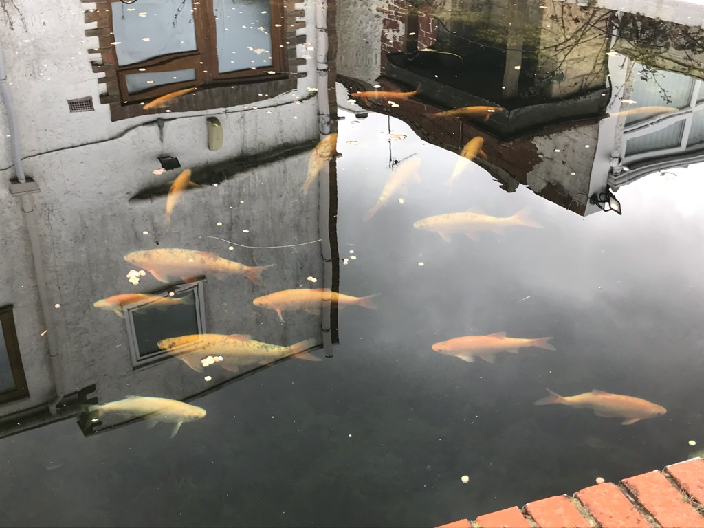 Koi Carp and Golden Orfes
