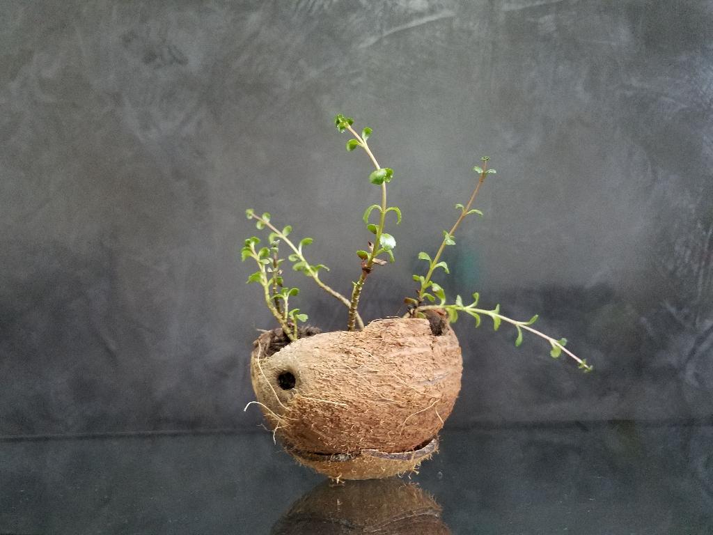 Succulents sedum makinoi