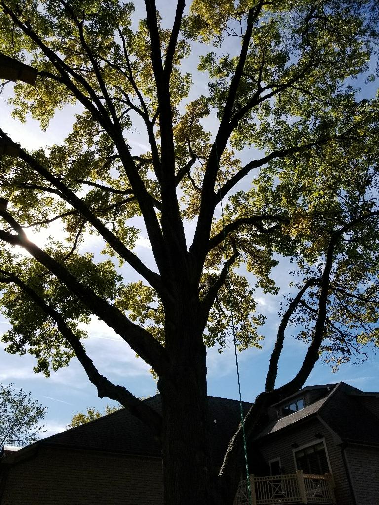 Tree service. !!!!Oak pruning season!!!!