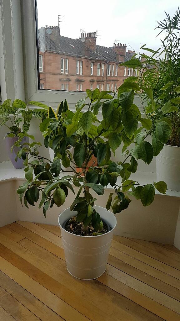 Lemon tree for sale