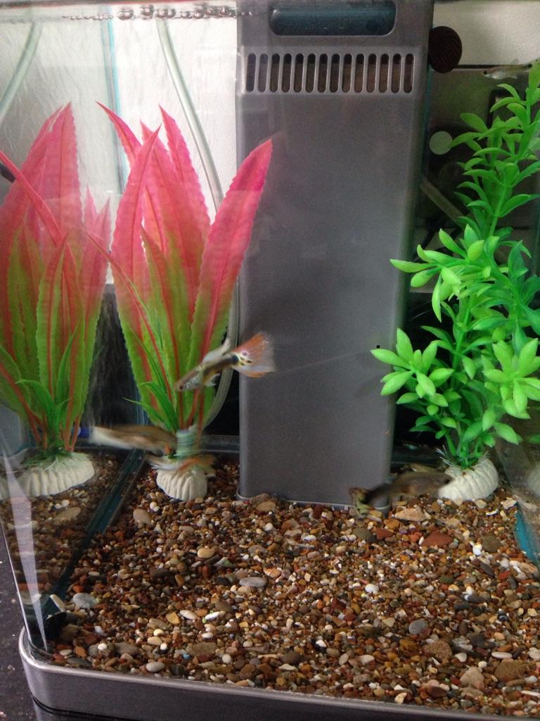 X8 Guppies - Peaceful Tropical Fish