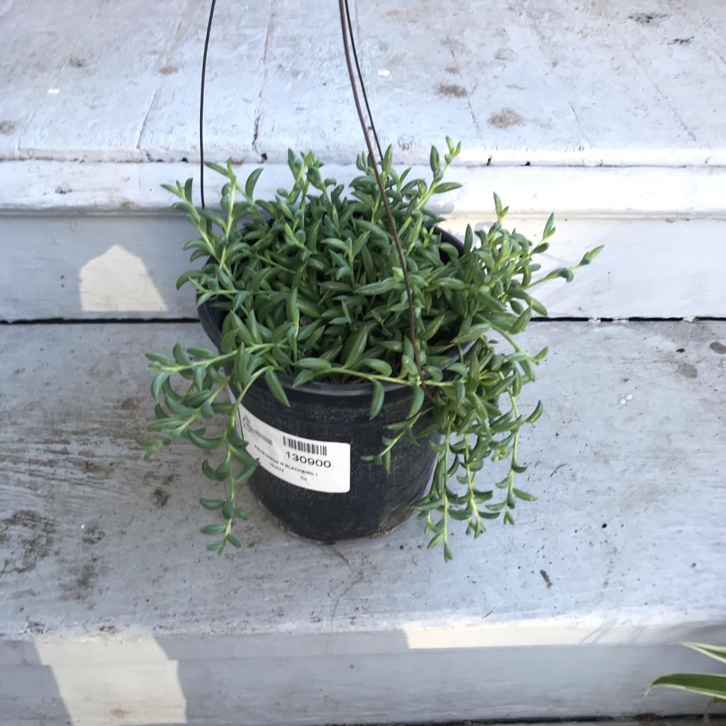 Bergeranthus