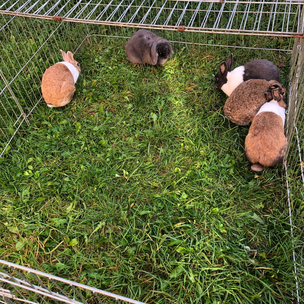 5 Rabbits For Sale