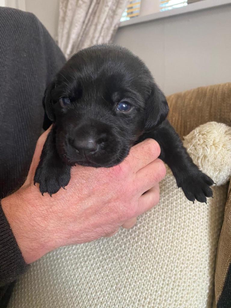 Labrador retriever puppies x5 left