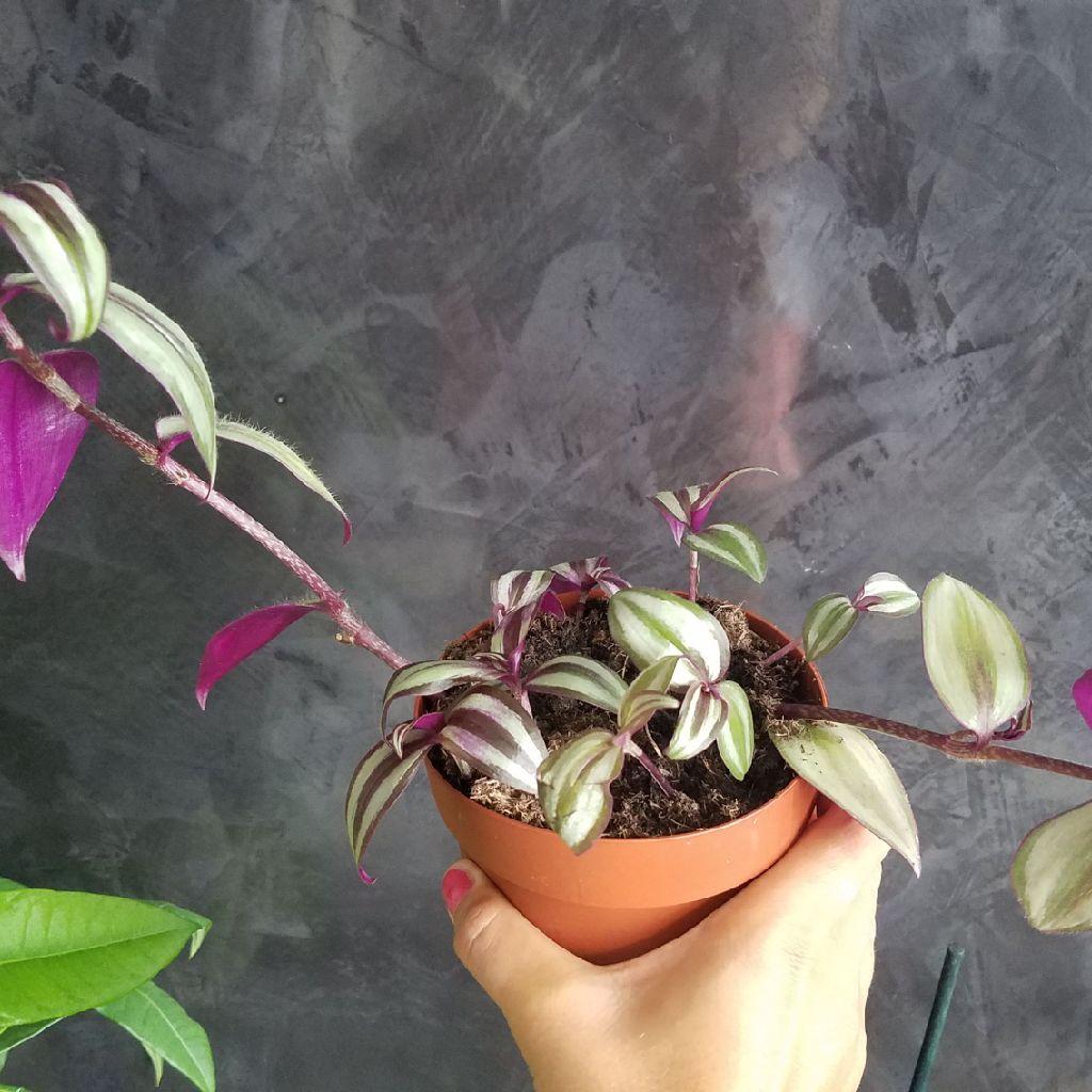 Tradiscantia zebrina trailing plant