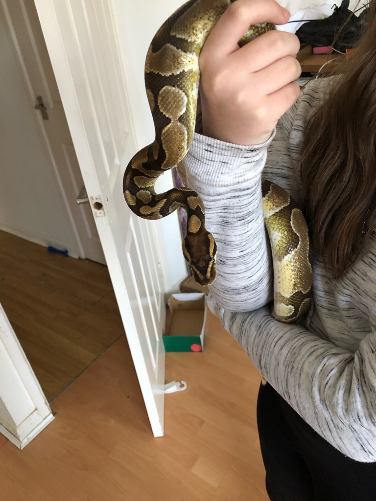 4 year old python comes with full set up