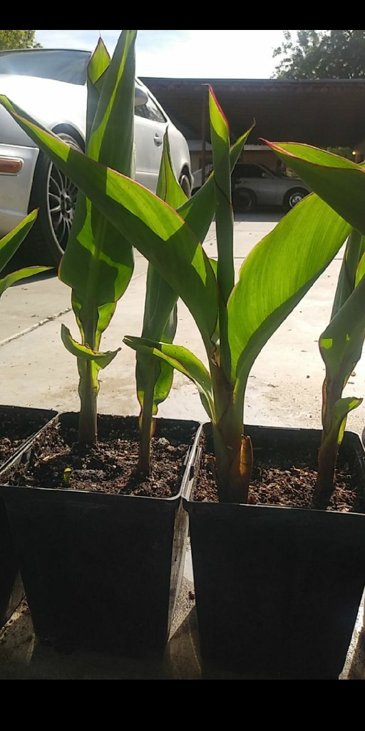 Canna lily plants