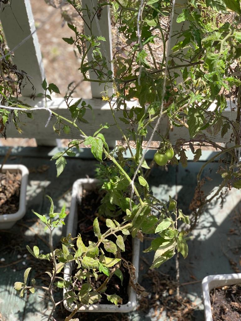 Organic tomato plants (2 count)