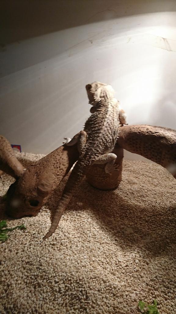 Bearded dragon x