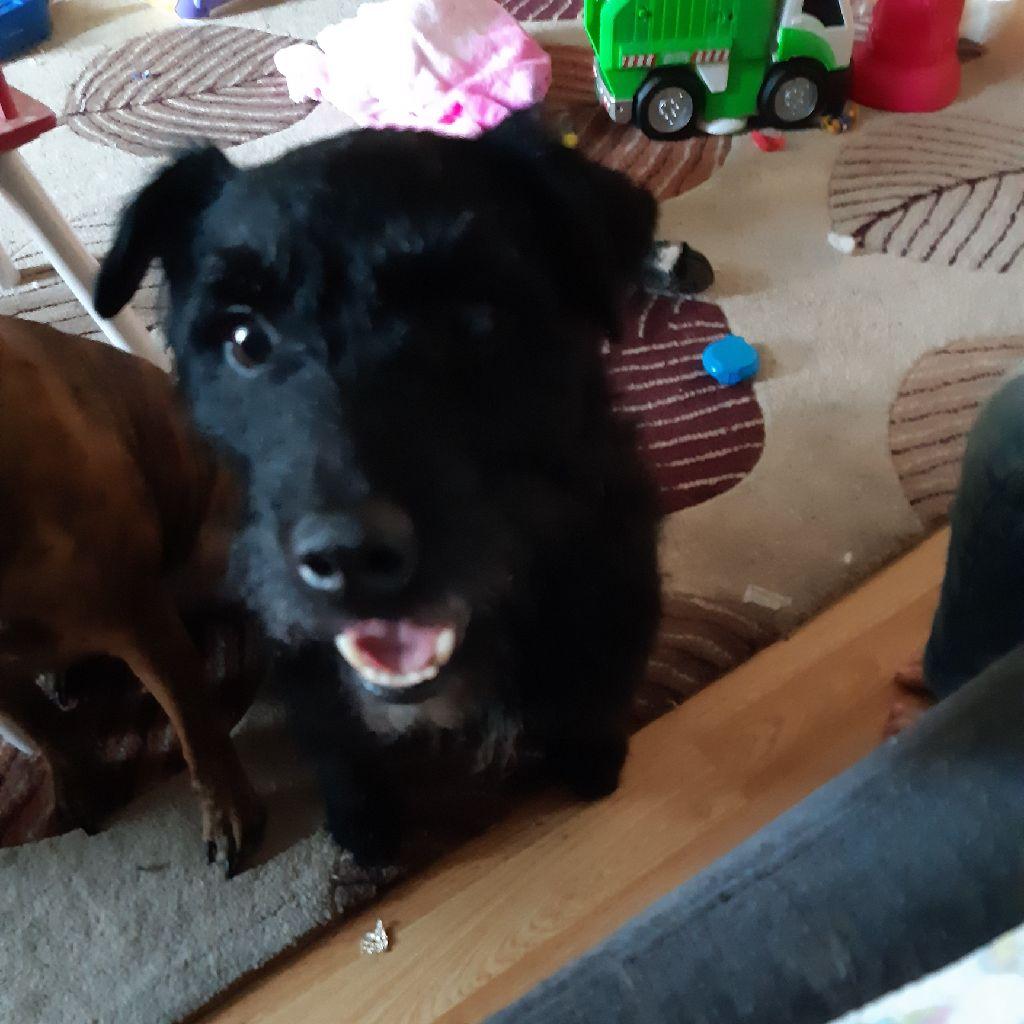 Patterdale terrier 5 years old