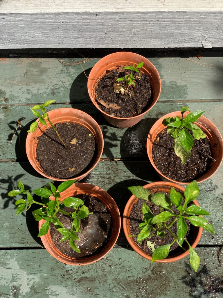 Organic chilli plants (5 count )
