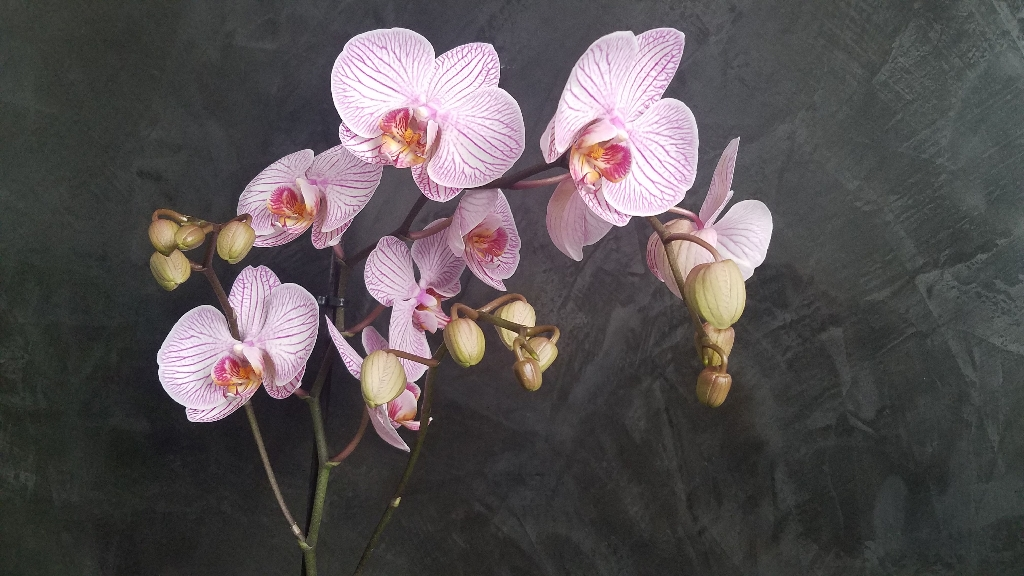 Orchid Phalaenopsis gift office home decor plant