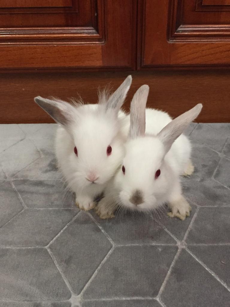 8 weeks old rabbits