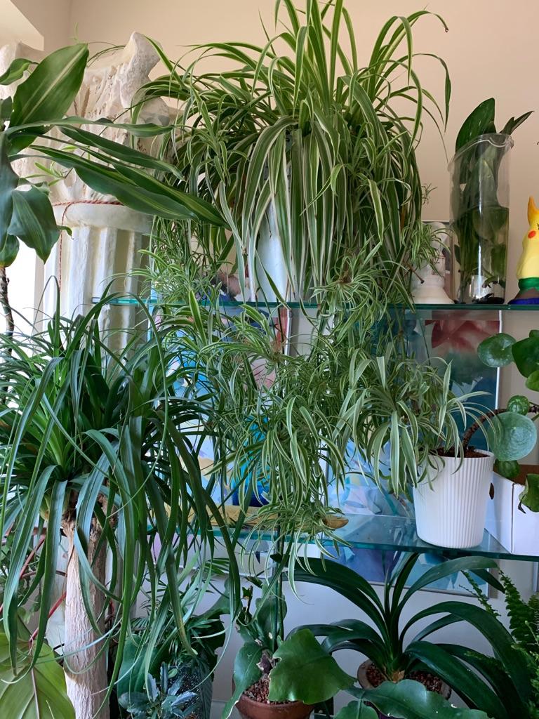 Spider plant - large babies - variegated -Chlorophytum comosum